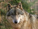 Волки в зоопарке шведского города Норчепинг в воскресенье напали на 30-летнюю сотрудницу зоопарка, от полученных ран женщина скончалась